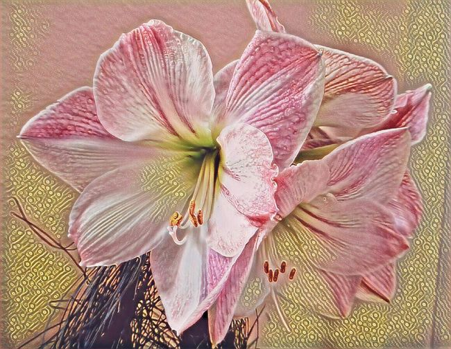 Amaryllis Flower I'm A Edit-maniac😄😍 Artistic Expression Do What You Love And Love What You Do❤ Close-up Fragility Pink Color Floweredit Beauty For My Friends 😍😘🎁 Colors Are My Life😍 Simple Beauty Tranquillity Enjoing Life Beauty In Nature Beauty In December😍 Every Day Is A Gift