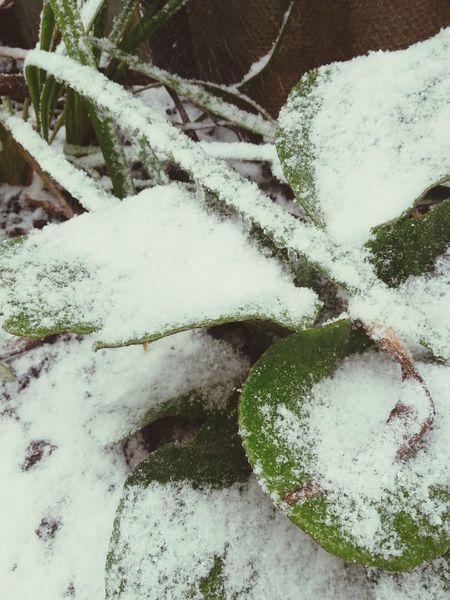 Вечно-зеленый под снегом
