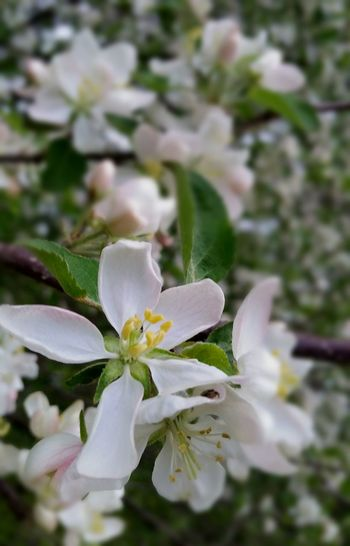 Life Moments Spring Apple Blossom