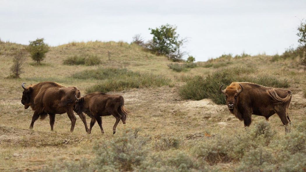 Wisent European  Bison Dunes Of Holland Plant Mammal Animal Animal Themes Group Of Animals Field Land Animal Wildlife Animals In The Wild Landscape No People Nature