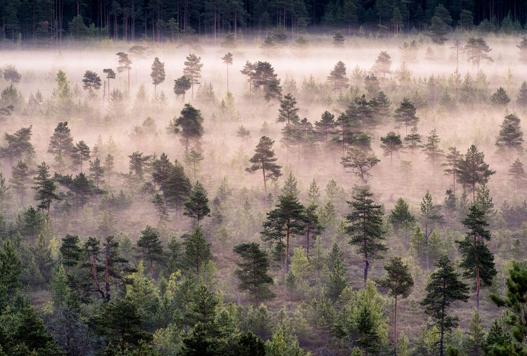 Aerial view of pine trees in forest during foggy weather