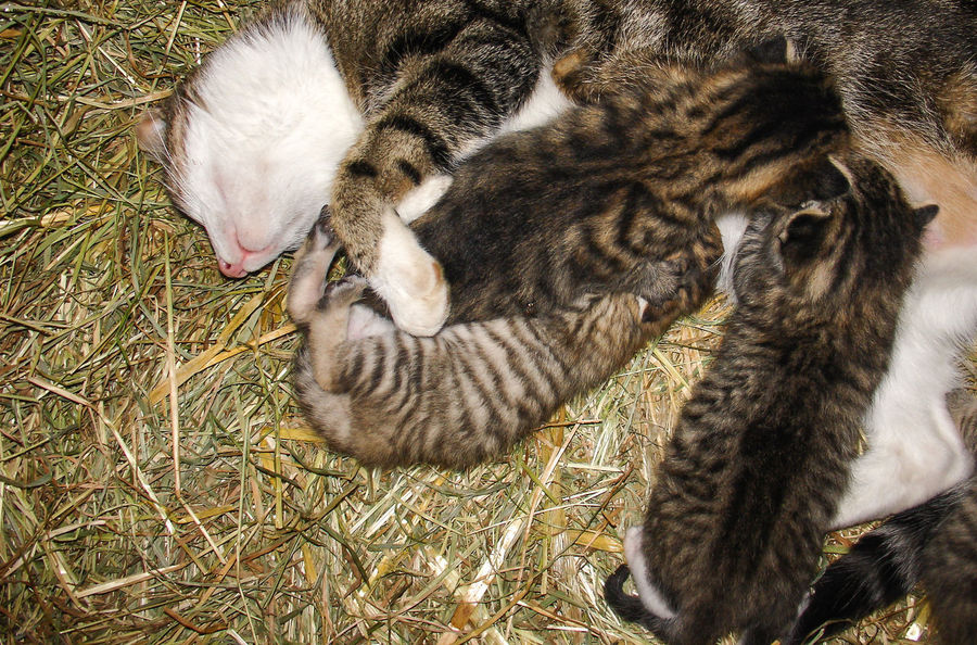 Animal Themes Baby Animals Cat Cats Cosy Curiosity Cute Cute Animals Day Enjoying Life Hay Kitten Look After Lovely Animals Mammal Meow Mother And Children Nature New Born No People Nosiness Playing Animals Protect Stable Stables This Is Family