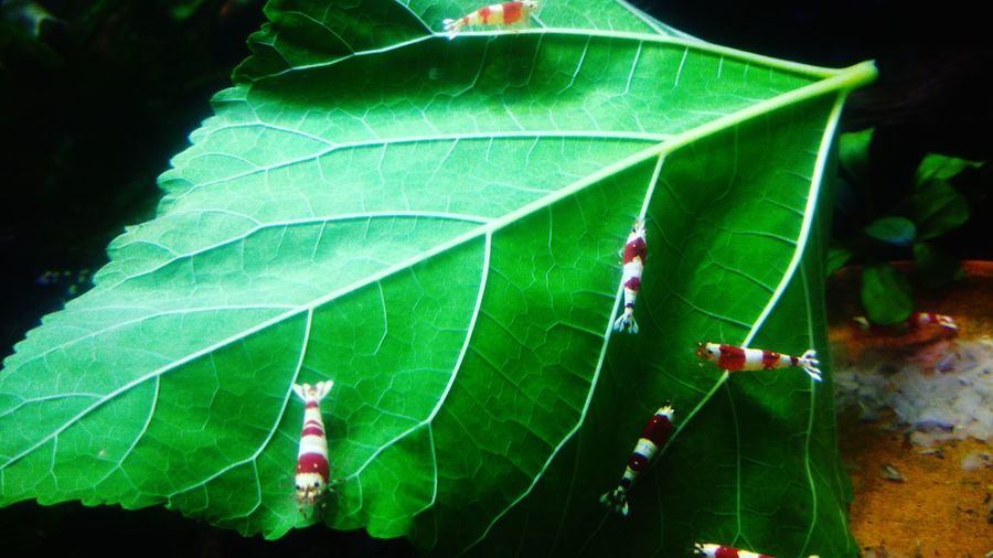 Leaf Green Color Nature Growth No People Outdoors Beauty In Nature Day Close-up Aquarium Aqua Aquarium Life Freshness Fragility Shrimps Redbee Redbee-shrimps Water EyeEm Nature Lover
