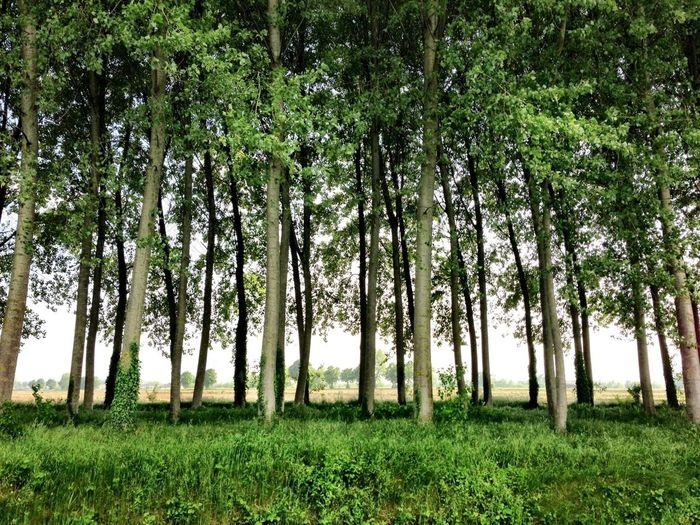 Enjoying The Sun TreePorn Countryside Pioppi