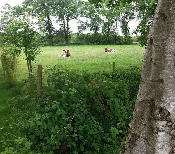 Cows Tree Field