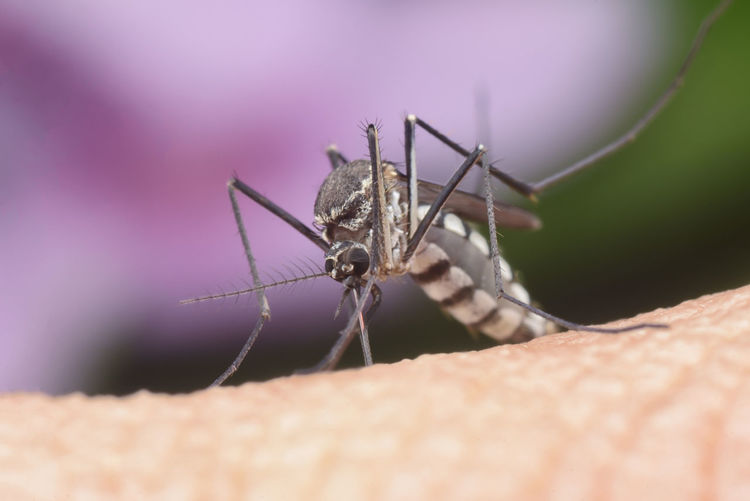 Mosquito busy sucking human blood