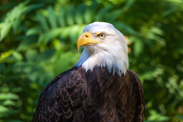 A bald eagle sitting for a portrait. Bird Of Prey Animal Animal Themes Animals In The Wild One Animal Vertebrate Bird Eagle Animal Wildlife Close-up Focus On Foreground Eagle - Bird Bald Eagle Day Looking Away Looking No People Beak Nature Plant Animal Head  Falcon - Bird