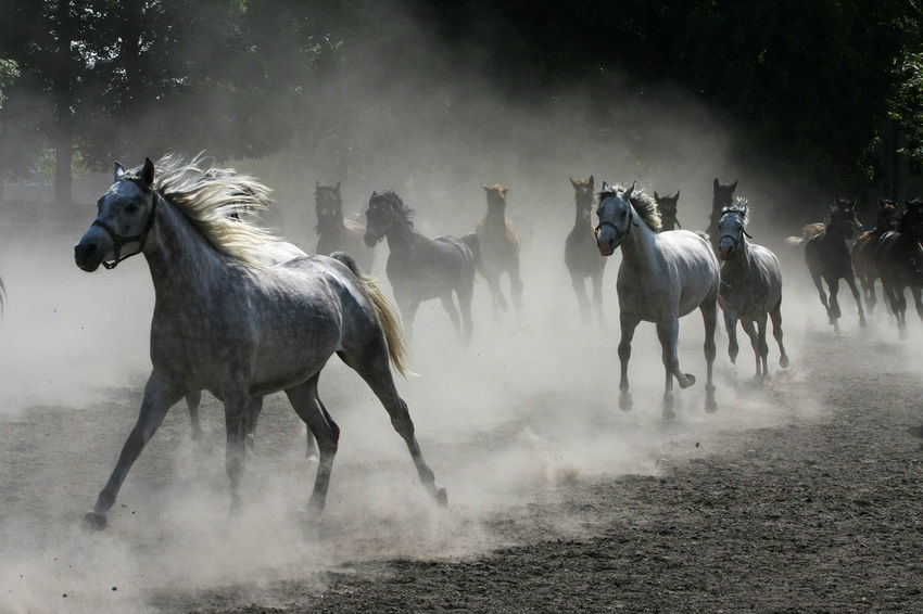 Animal Themes Arabian Horses Domestic Animals Dust Gallop Galloping Herd Of Horses Horse Horse Stud Horses Mammal Nature No People Outdoors Running