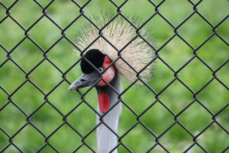 Close-up of crested bird through chainlink fence