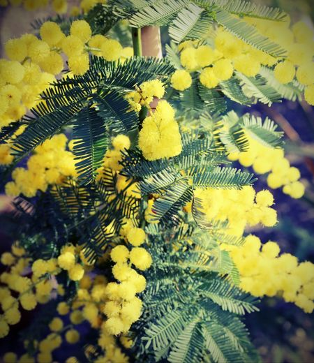 yellow flower of mimosa plants symbol of international women's day with vintage effect IWD International Women Day International Women's Day Mimosa Flowers Backgrounds Festa Della Donna Festa Delle Donne Flower Flowers International Woman Day International Womens Day Mimosa Mimosa Flower Mimosa Pudica Mimosa Pudica Flower Mimosa Tree Mimosas Springtime Yellow ınternational Women's Day