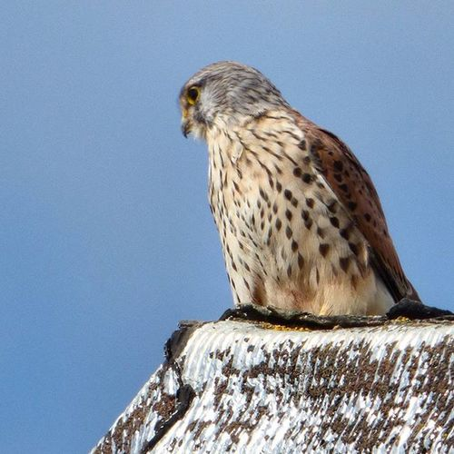 Snapped this guy on a rooftop spotted from the car last week. Just wish he'd been looking my way! Kestrel Raptor Birdofprey Nature Photography Uknaturecollective Nature Wild Followme Ig_birdlovers Ig_birdwatchers Nuts_about_birds Wildlife Nature England Rsa_nature Ukwildlifeimages