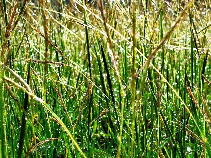 Bamboo - Plant