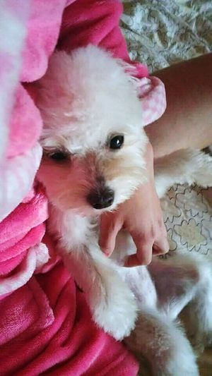Always Be Cozy Cute Indoors  Little Dog Inthebed Doglovers Lovemydogs