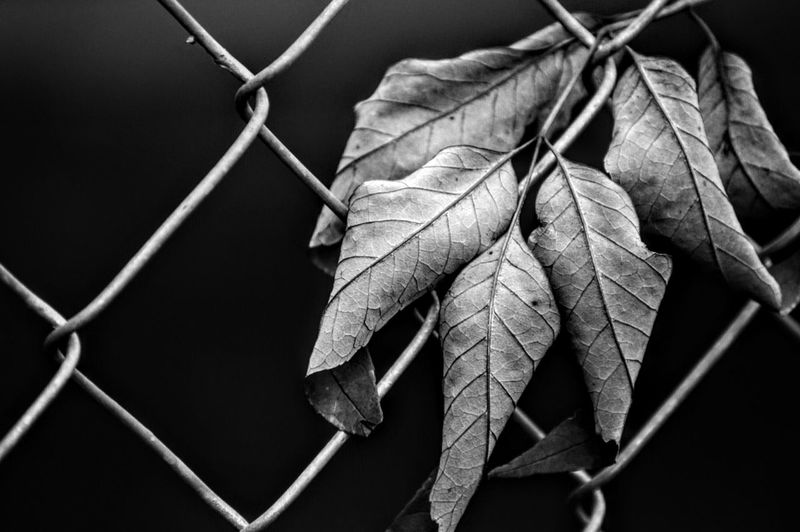 Close-Up Of Dry Leaves On Chainlink Fence