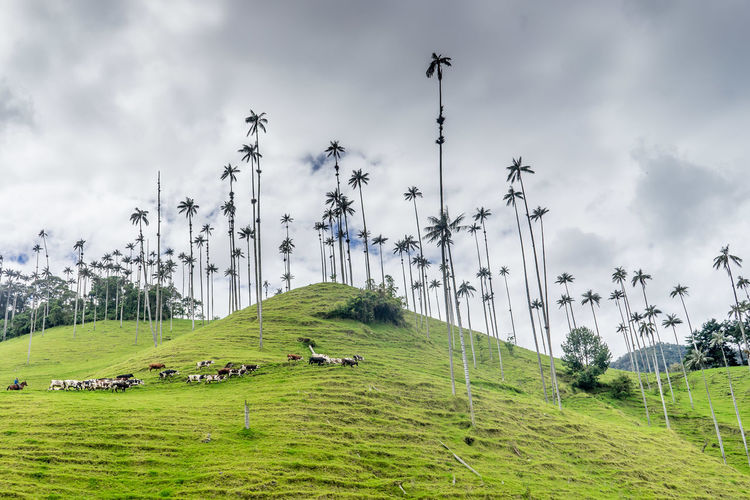 Beauty In Nature Cocora Valley Colombia Cows Cows With Palm Trees Grass Green Color Landscape Nature Palm Trees Salento Valle De Cocora Wax Palm Tree