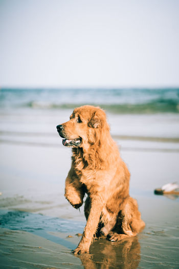 Dog Looking Away While Sitting On Shore At Beach