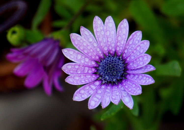 Flower Flowering Plant Fragility Freshness Vulnerability  Petal Beauty In Nature Plant Growth Flower Head Inflorescence Close-up Purple Focus On Foreground Nature No People Osteospermum Pollen Day Water