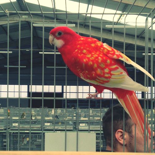 My Bird rosela rubina