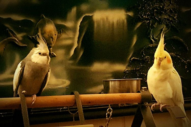 EyeEmNewHere Animal Bird Indoors  NICE COUPLE 2 Birdysss No People Pretty Animals Love Them ❤ My Pets♥