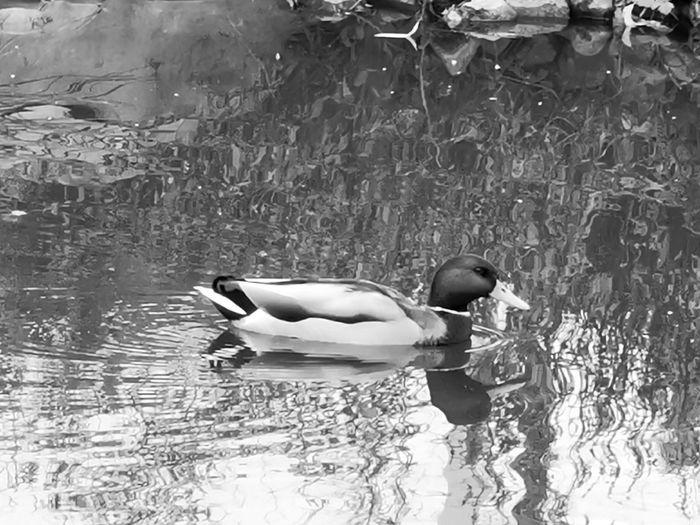 Bird Swimming