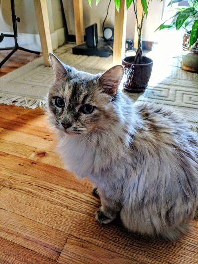 New friend Domestic Cat Pets Furball Friend Fluffy Blue Eyes AdoptDontShop