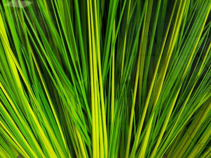 Palm Leaf Palm Tree Frond Green Color Growth Nature Backgrounds Close-up Leaf Day No People Tree Freshness Outdoors EyeEm Diversity
