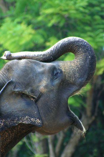 Aauuu... African Elephant Animal Trunk Elephant Close-up