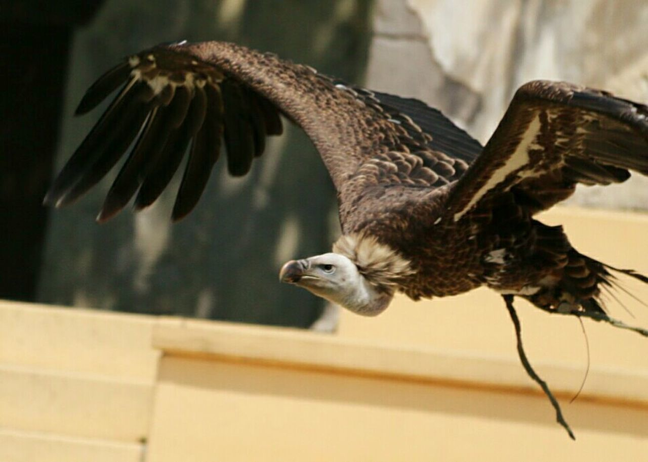 bird, flying, spread wings, one animal, animal themes, animals in the wild, mid-air, animal wildlife, bird of prey, motion, focus on foreground, nature, no people, day, outdoors, close-up