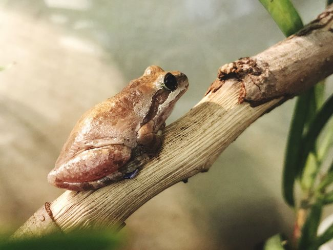 EyeEm Selects Animals In The Wild Animal Themes One Animal Focus On Foreground Close-up Day No People Animal Wildlife Insect Outdoors Nature Reptile Tree Frog EyeEmBestPics EyeEm Best Shots California Traveling Bay Area