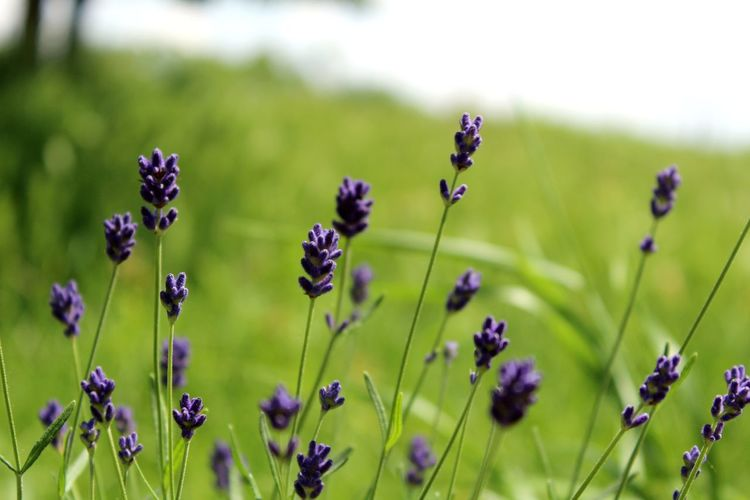 Close-Up Of Lavender Flowers Growing On Field