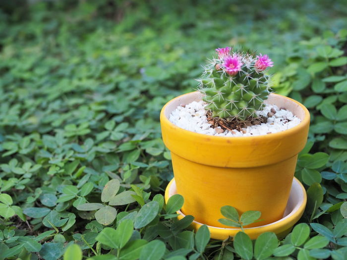 Close-up of yellow potted plant