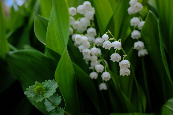 Frühlingsbote MAI Maiglöckchen Lily Of The Valley Beauty In Nature Blooming Close-up Convalaria Day Flower Flower Head Fragility Freshness Green Color Growth Leaf Nature No People Outdoors Petal Plant Snowdrop Staude White Color