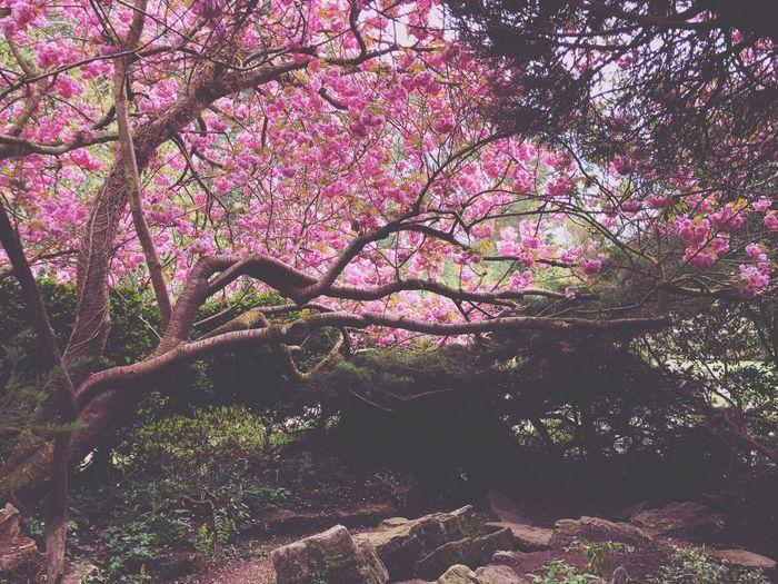 Pink flowers on tree