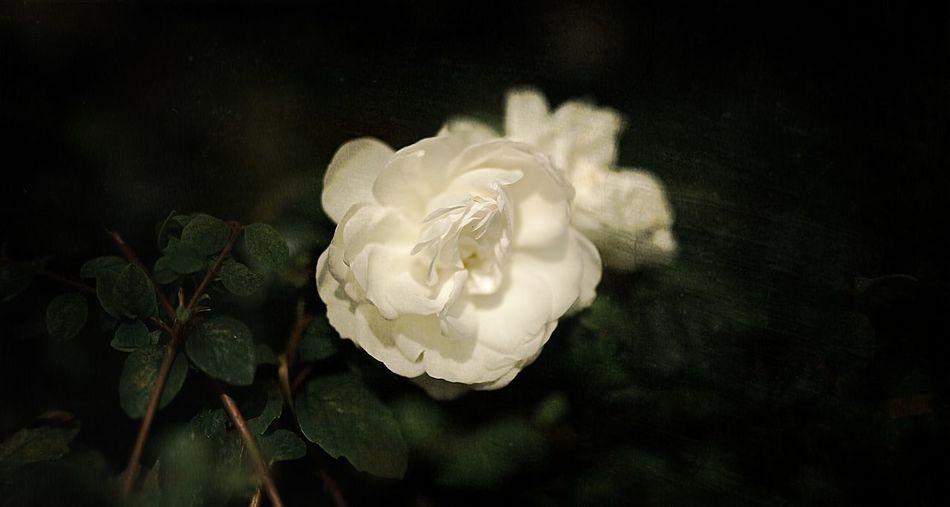 Rembrandt Rose
