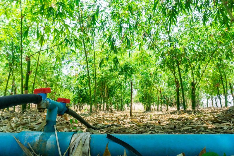 Water management to take care of bamboo gardens. Green Take Care Bamboo Tree Bamboo Forest Bamboo - Plant Bamboo Bamboo Gardens Management Water Water Management Tree Plant Growth Green Color Nature Day No People Outdoors Green Sunlight