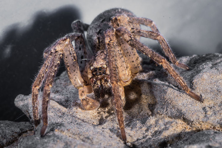 Spider species tegenaria as the barn funnel weaver in north america and domestic greater in europe