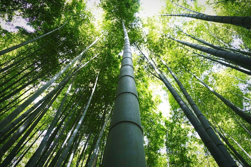 Look Up And Thrive Lookingup Trees Bamboo Bamboo Forest Bamboo Tree From My Point Of View Point Of View Shootermag Travel Photography Exeptional Photographs AMPt_community Eye4photography  Tadaa Community Japanese Temple Japanese Culture EyeEm Masterclass Ultimate Japan Color Palette