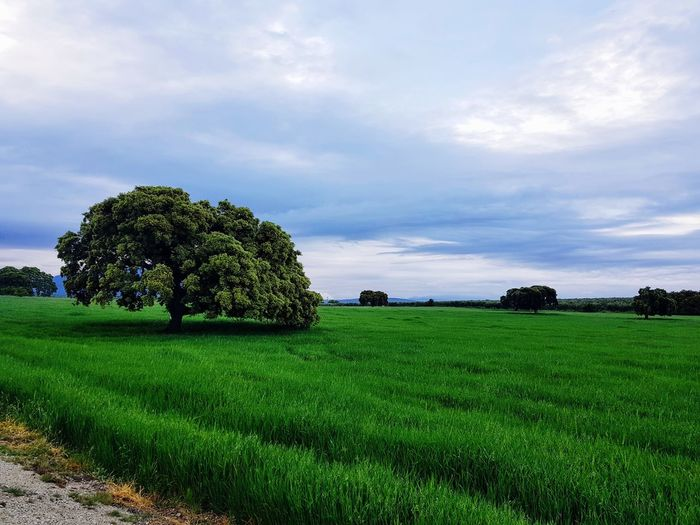 Tree Rural Scene Agriculture Field Crop  Sky Landscape Cloud - Sky Green Color Close-up