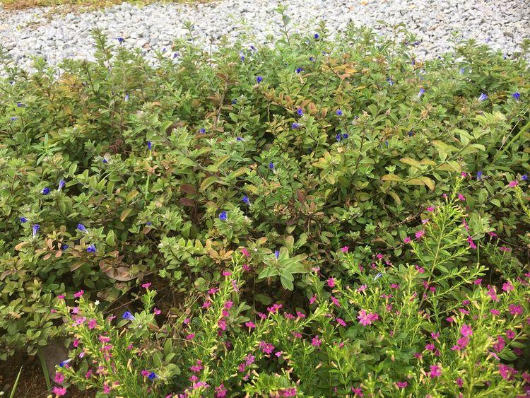 Flower Flowerlove Pink Blue Grass Accessories Garden Photography Garden Gardenflowers