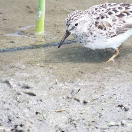 Sand Piper South Padre Island