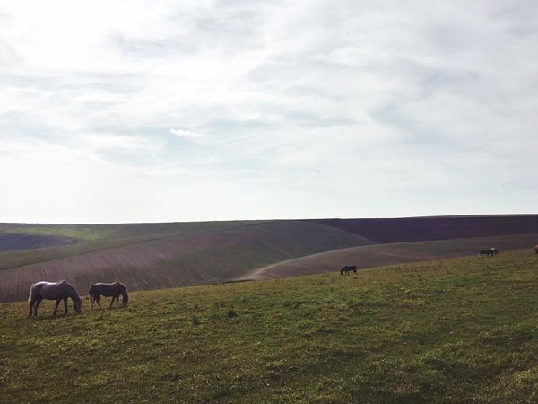 Landscape Grass Sky Sussex South Downs South Downs National Park South Downs Way Pony