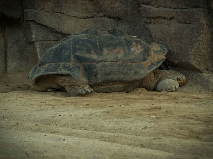 Galapagos giant tortoise relaxing on field against rock formation
