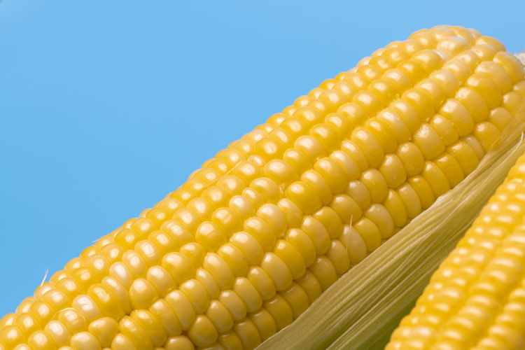 Corn Vegetable Food And Drink Healthy Eating Yellow Food Corn On The Cob Wellbeing Sweetcorn Close-up Freshness No People Studio Shot Corn - Crop Indoors  Crop  Nature Raw Food Colored Background Blue Blue Background