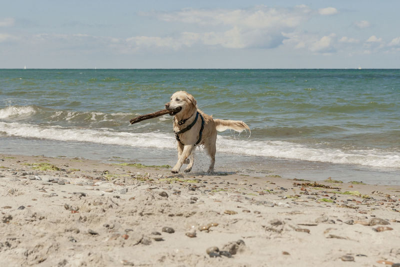 Golden retriever at the beach Apportierender Hund Baltic Sea Beach Braver Hund Dog Fetching The Stick Golden Retriever Have Fun Holidays Outdoor Pet Photography  Sand Sea Summertime Well Done  Live For The Story