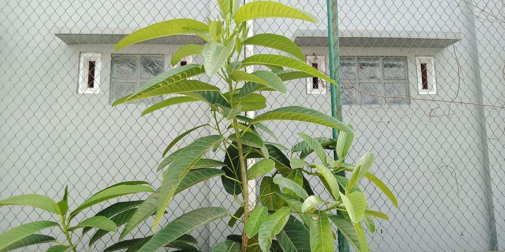 Leaf Ivy