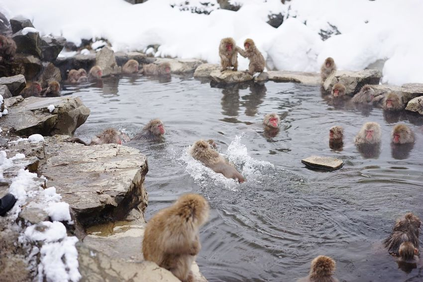 Large Group Of Animals Water Animal Themes Animals In The Wild Lake Nature Bird Beauty In Nature Day Cold Temperature No People Outdoors Mammal Snow Monkeys Hot Spring 地獄谷野猿公苑 Japanese Macaque Animal Wildlife Travel Destinations Landscape at Jigokudani-Snow-Monkey-Park Nagano Prefecture,Japan Geology Ski Holiday Shigakogen