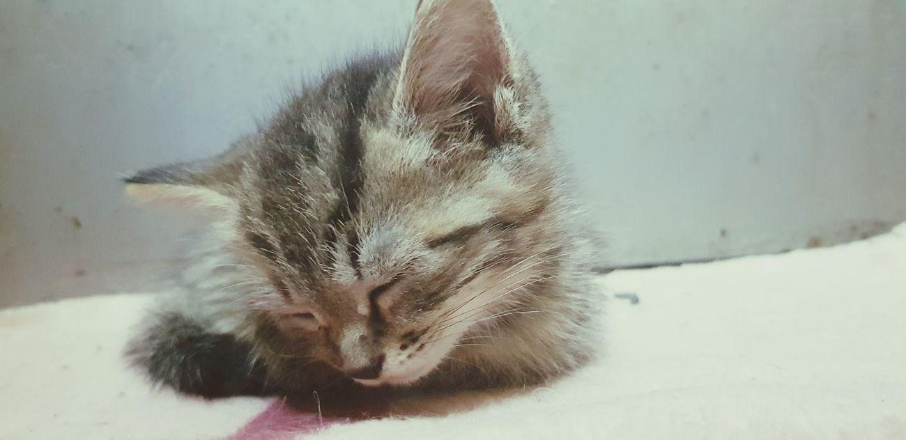 Fox đây Pets Snow Cold Temperature Winter Protruding Domestic Cat Snowflake Close-up