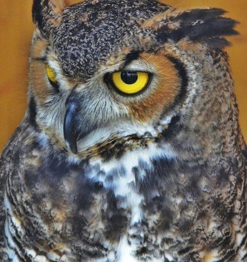 Owl Bird Photography Birds Wildlife & Nature Yellow Eyes Renaissance Festival Animals Owls
