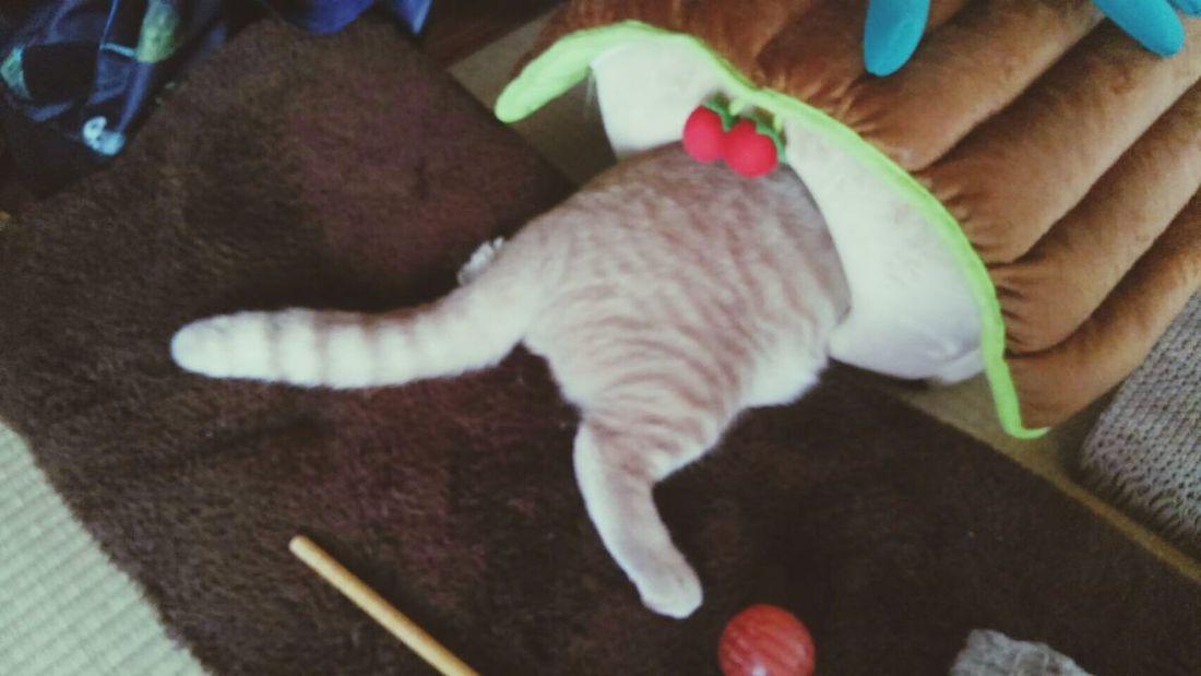 入り口で、寝た猫。 とっちゃん Hello World My Cat