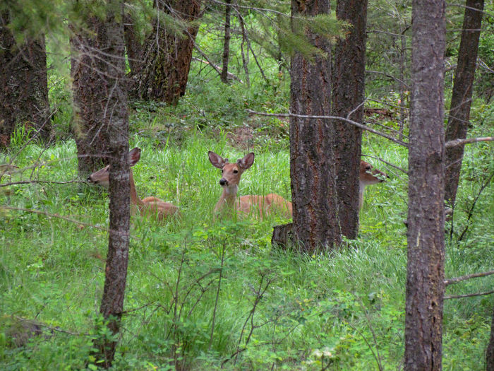 Three Amigos Alertness Animal Themes Animals In The Wild Bedded Down Deer Grass No People Relaxing Selective Focus Three Animals Three Young Bucks Whitetail Deer Wildlife Zoology Animals Nature Photography Where Animals Live Nature In The Forest